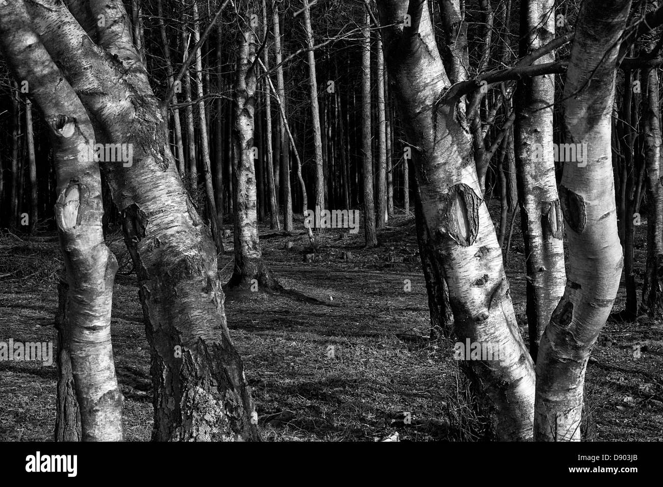 Silver birch woodland forest in black and white - Stock Image