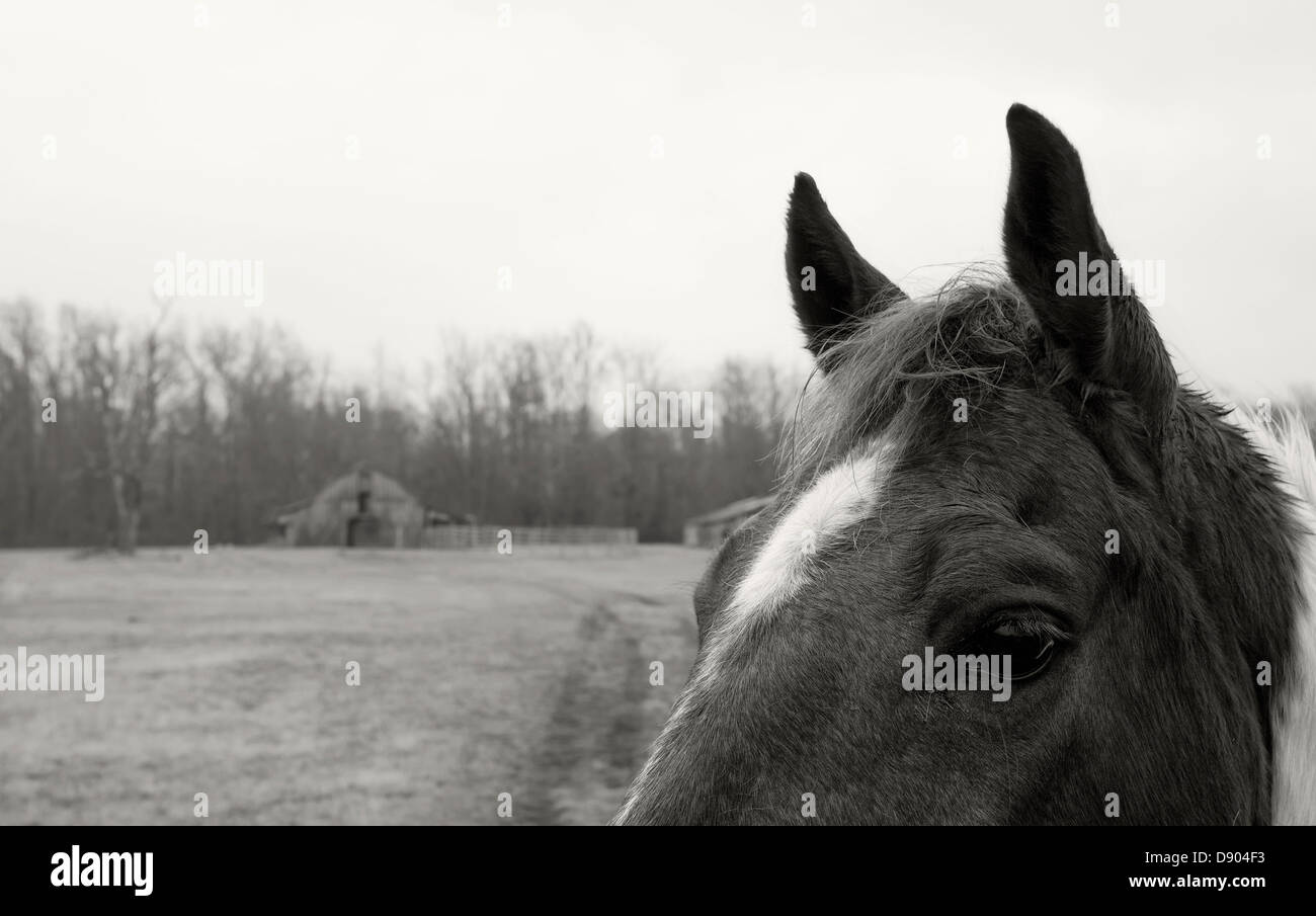 Nosy horse, with barns in the background, black and white - Stock Image