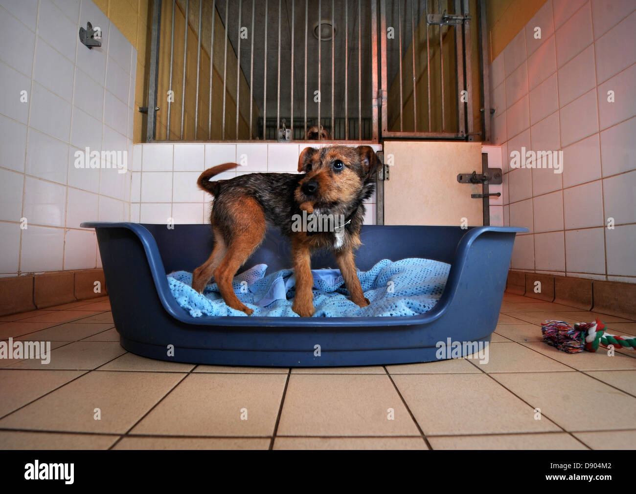 A rescued dog at the Dogs Trust near Bridgend, S. Wales 4 Dec 2009 UK - Stock Image