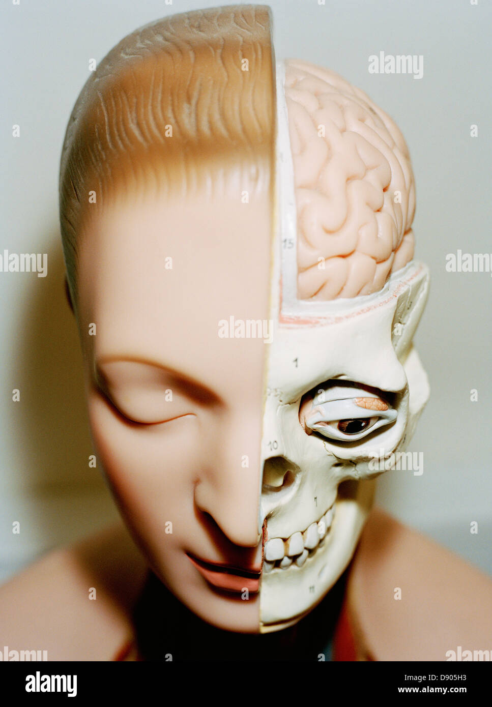 An anatomy model. - Stock Image