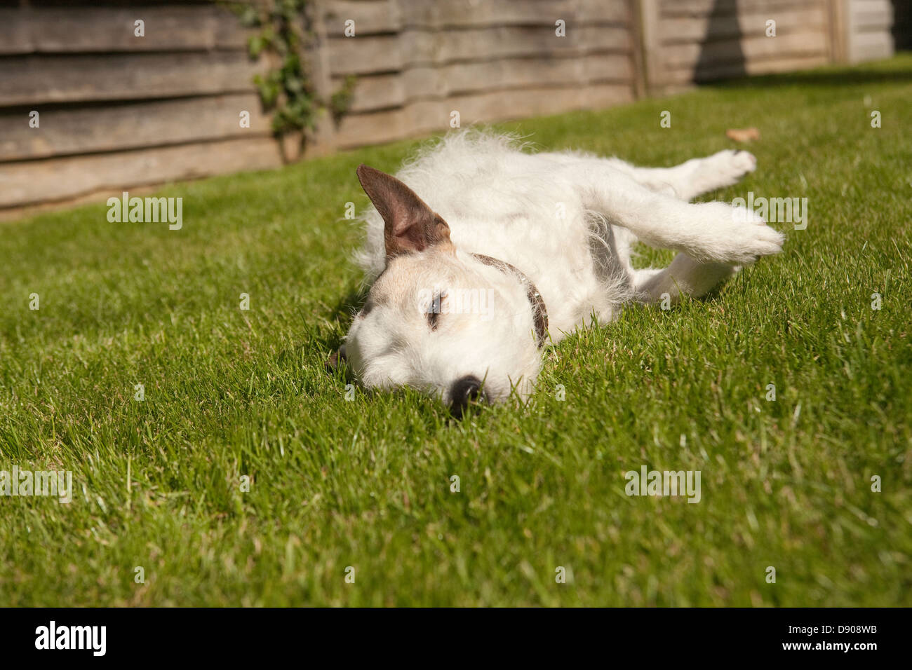 jack russell terrier snoozing in the sun - Stock Image