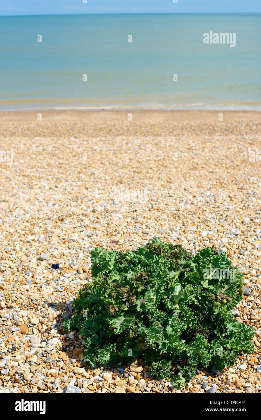Crambe Maritima Sea Kale Coastal Cabbage salt tolerant plant growing on a shingle beach at Pevensey East Sussex Stock Photo
