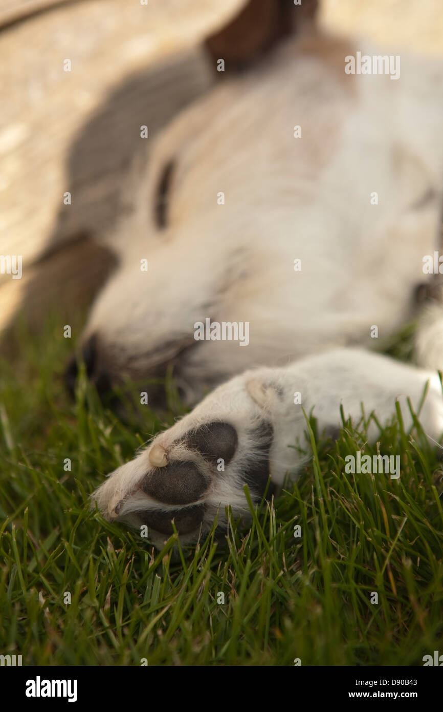 jack russell dog having a snooze in the sun with paw - Stock Image