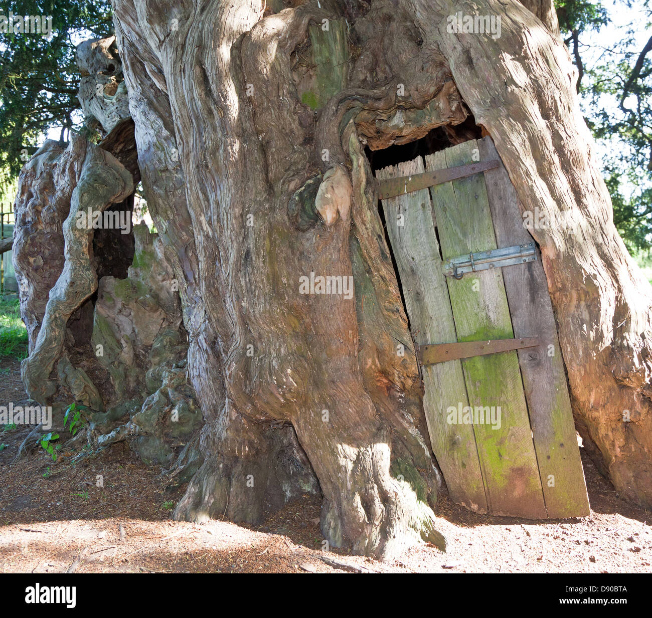 4,000 Year Old Yew Tree in St Georges Churchyard Crowhurst Surrey UK - Stock Image