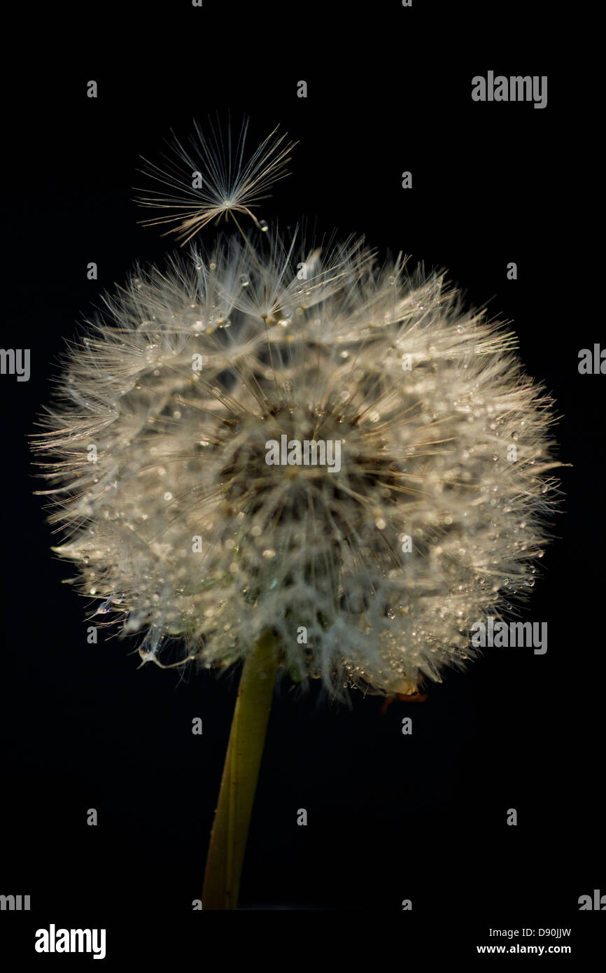 Dandelion seed head and dewdrops - Stock Image