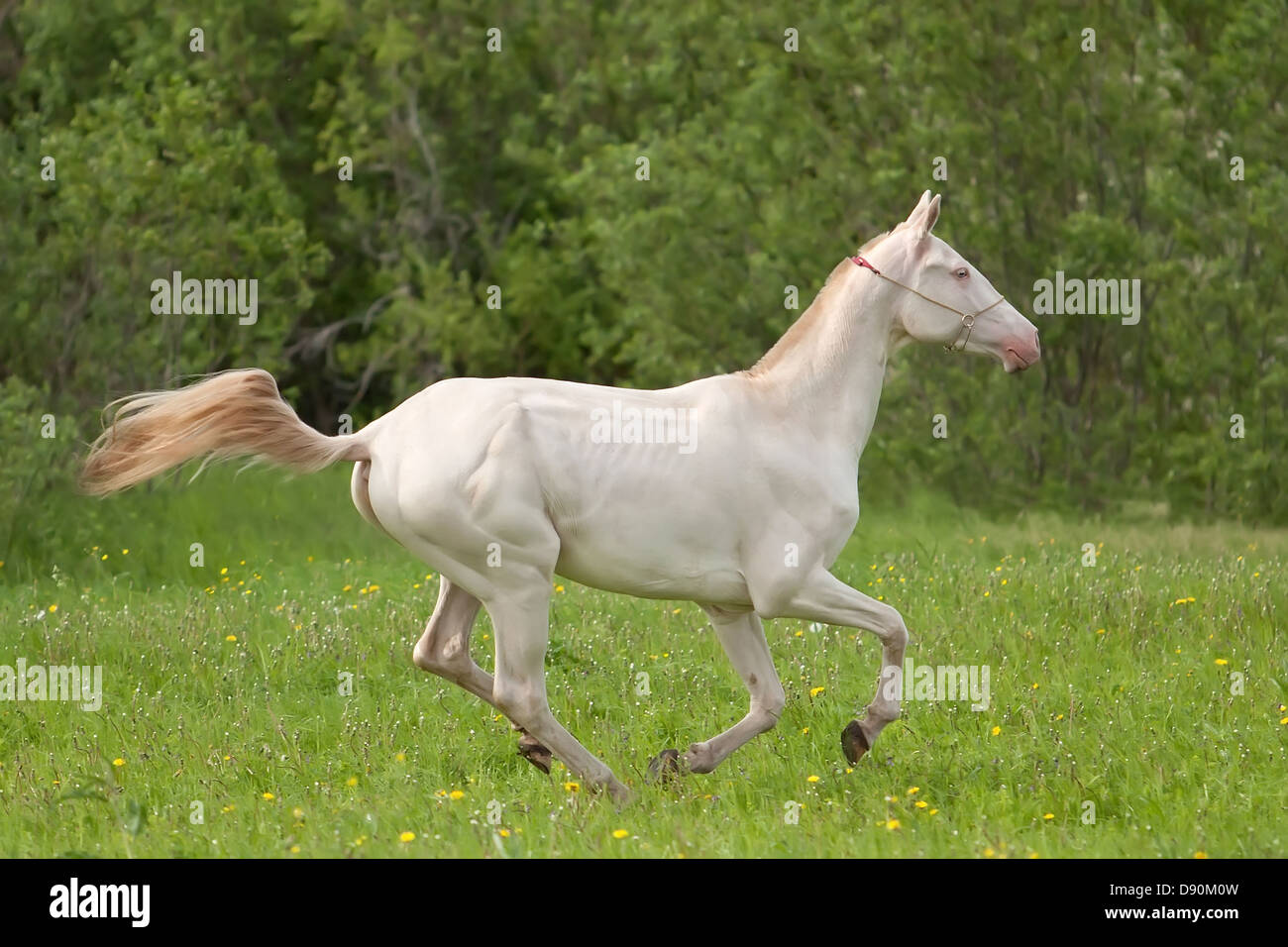 Young Akhal Teke Horse Run In The Summer Meadow Stock Photo