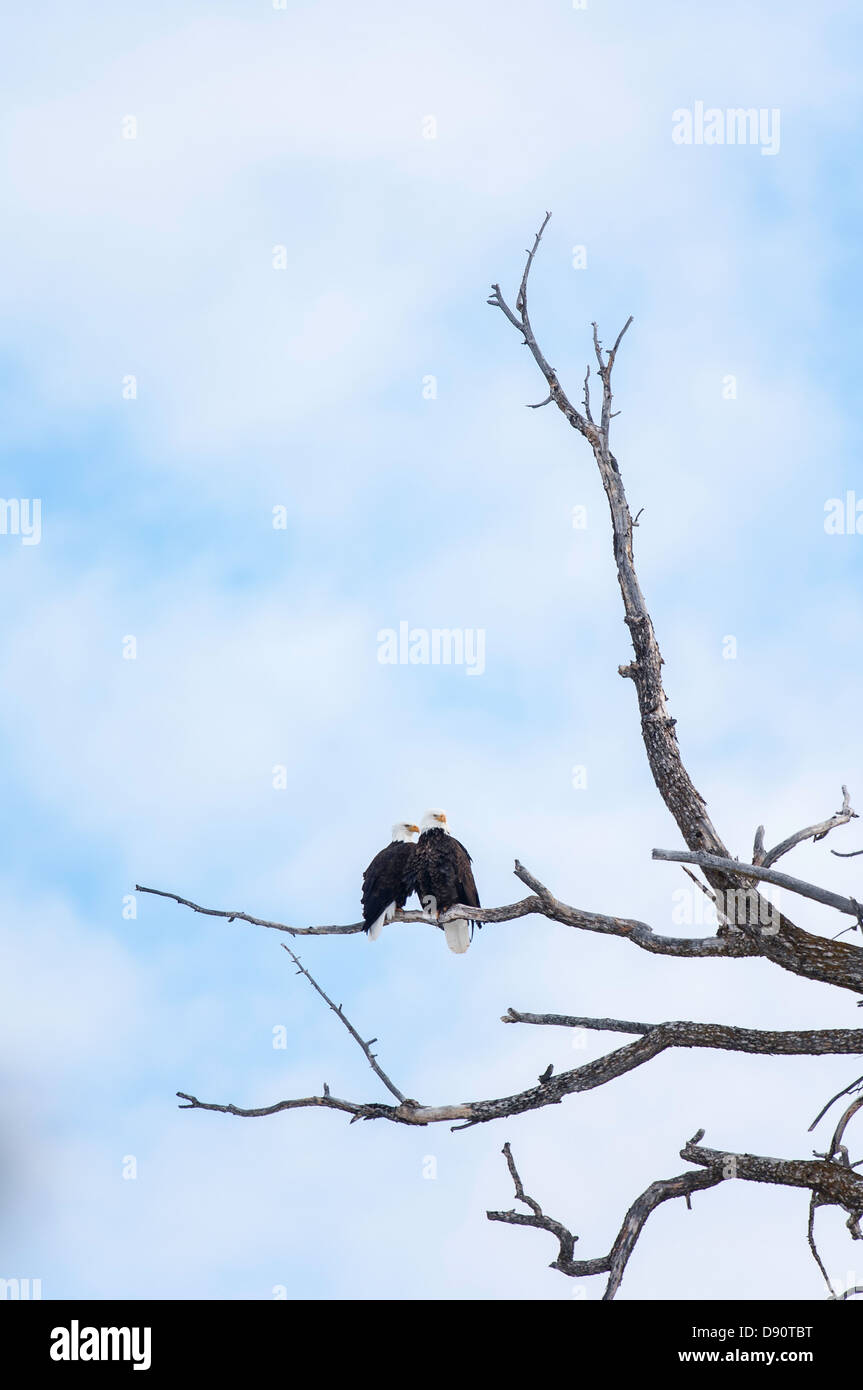 A pair of bald eagles nest near the Madison River east of West Yellowstone Thursday, Feb. 2, 2006. - Stock Image