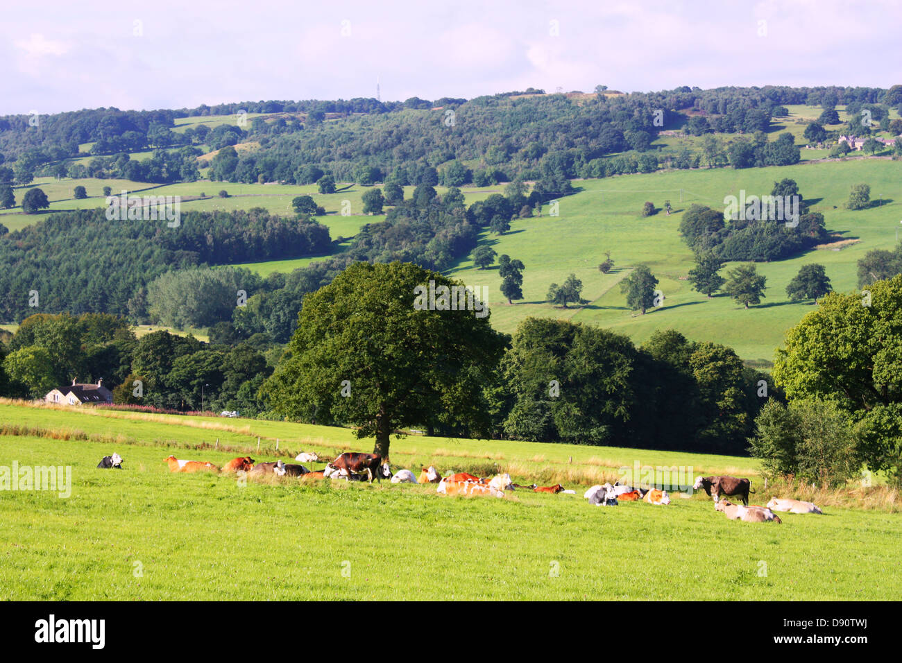 Cows sleeping and relaxing in green field Stock Photo