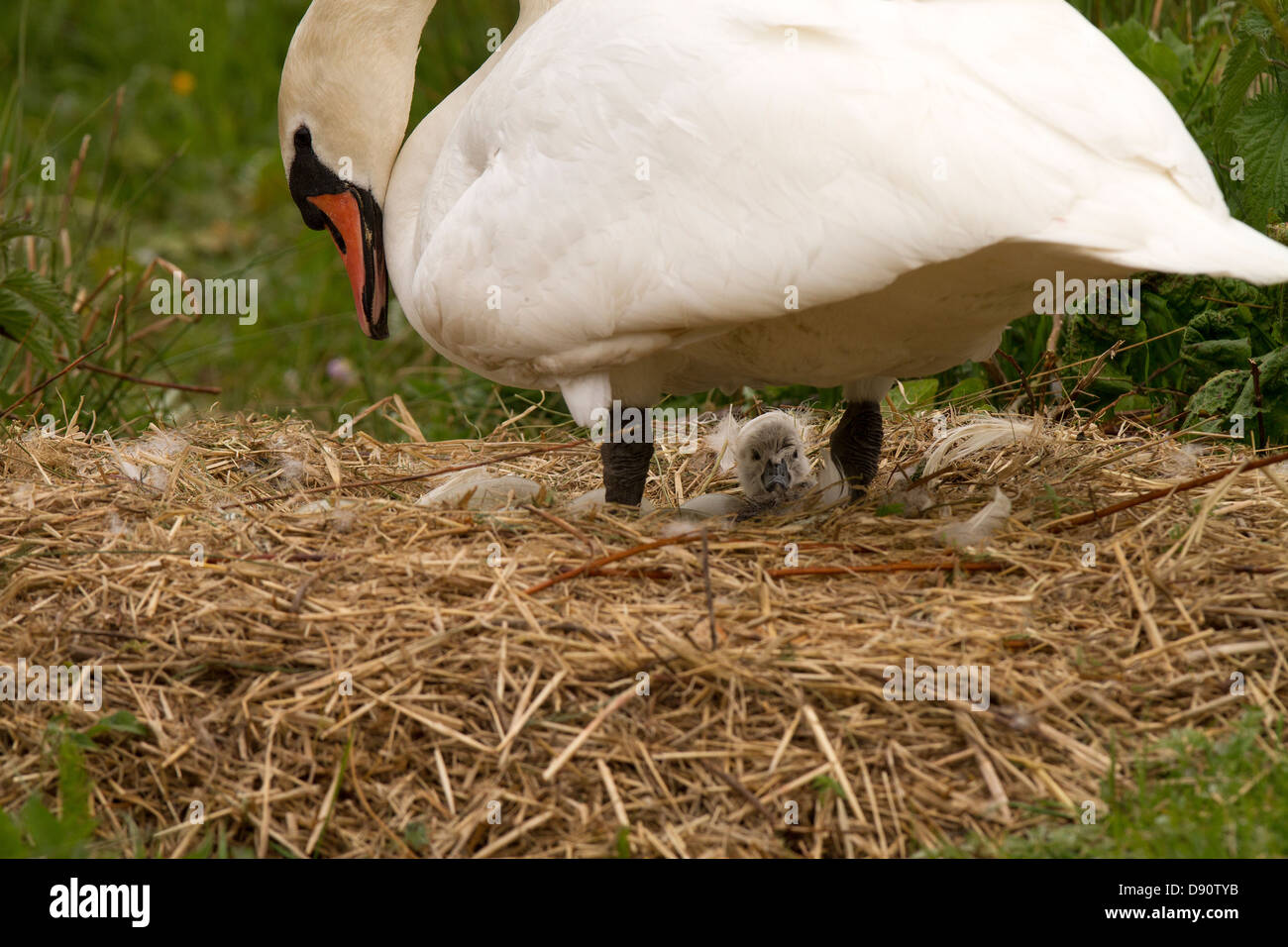 Cygnet just hatched - Stock Image