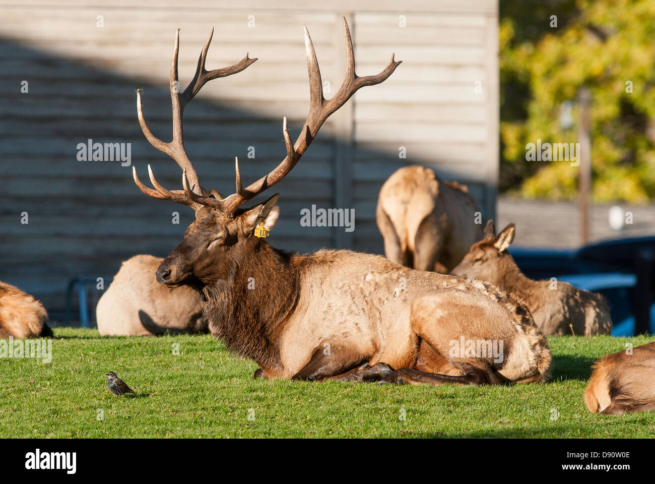 A bull elk rests with his harem on the lawns at Mammoth Hot Springs in northern Yellowstone National Park. - Stock Image