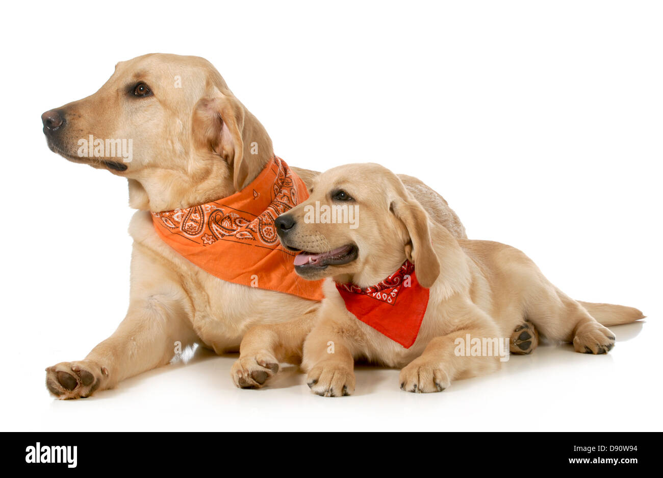 adult dog and puppy wearing bandanas laying down looking off to the side isolated on white background - Stock Image