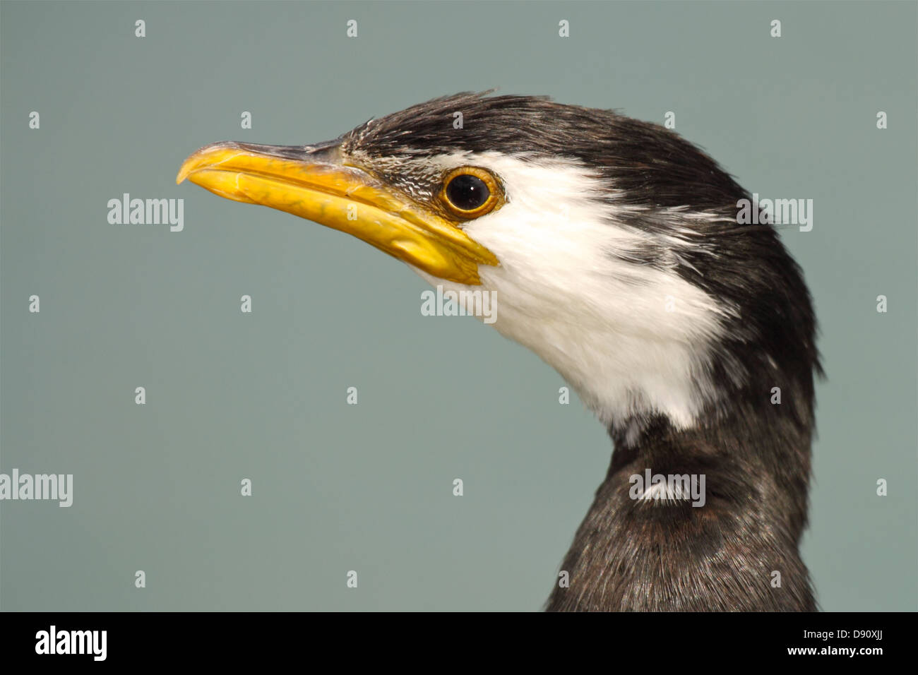 Portrait of a Little Pied Shag with a bright yellow beak. - Stock Image