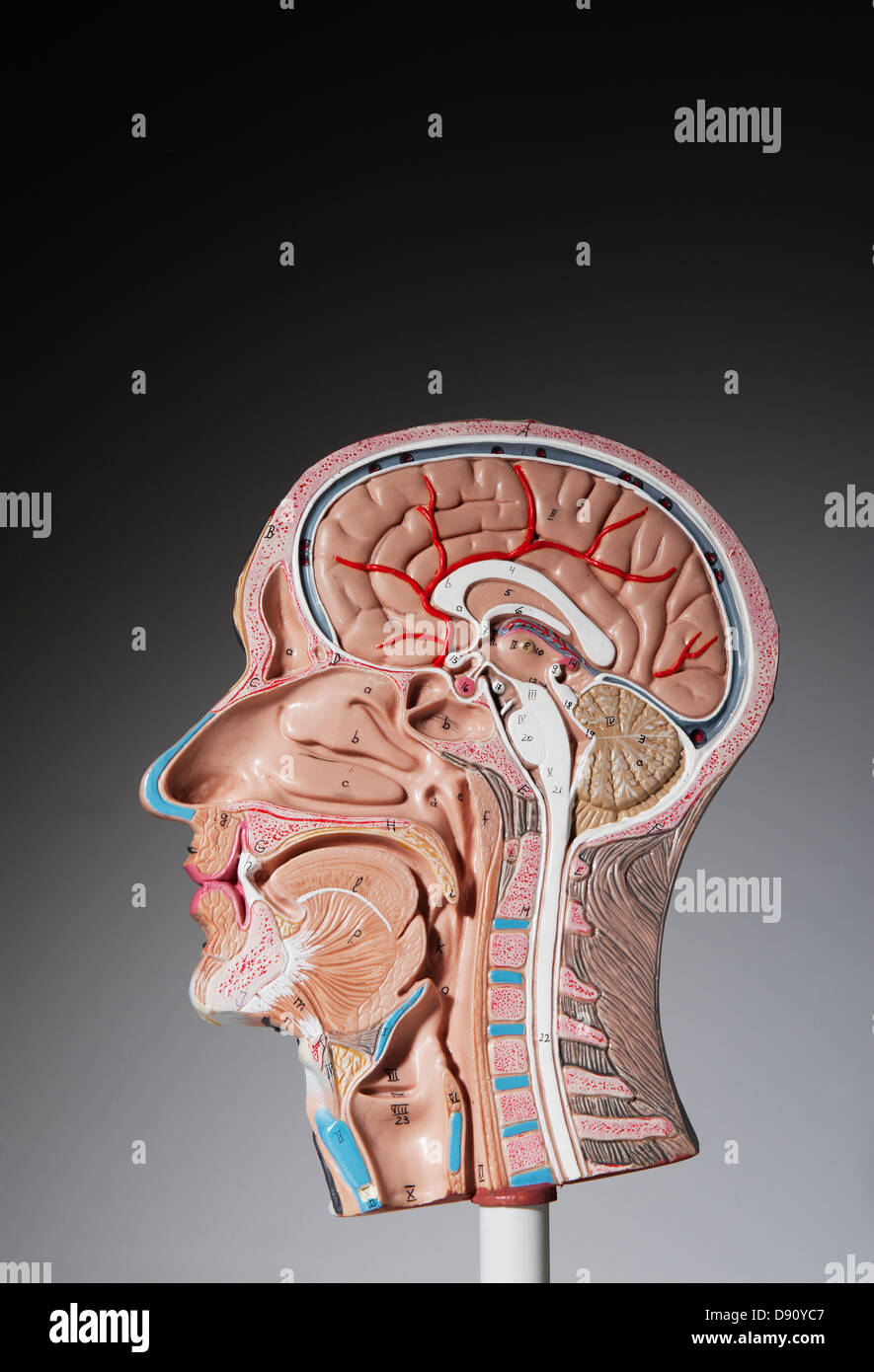 Anatomical Model Of Human Head Stock Photos Anatomical Model Of