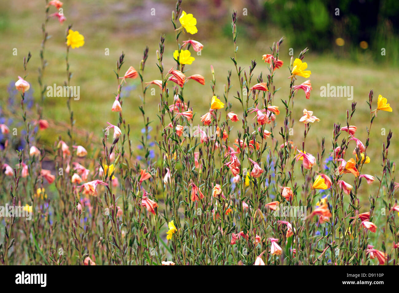 Colourful wild flowers around Tarawera Lake in central North Island, New Zealand - Stock Image
