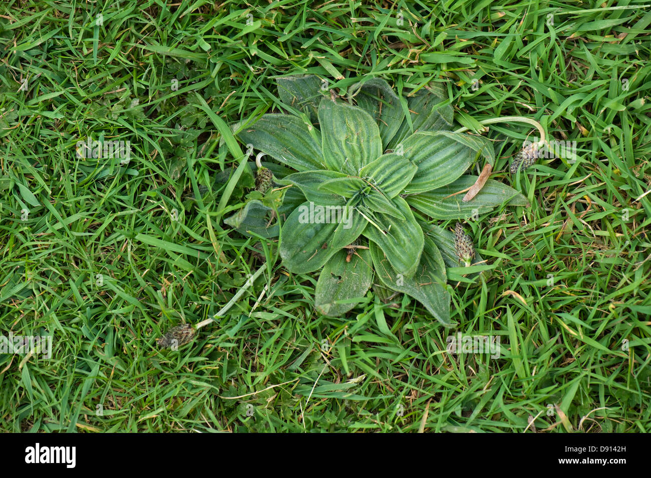 hoary plantain plantago media a weed in lawn grass stock. Black Bedroom Furniture Sets. Home Design Ideas