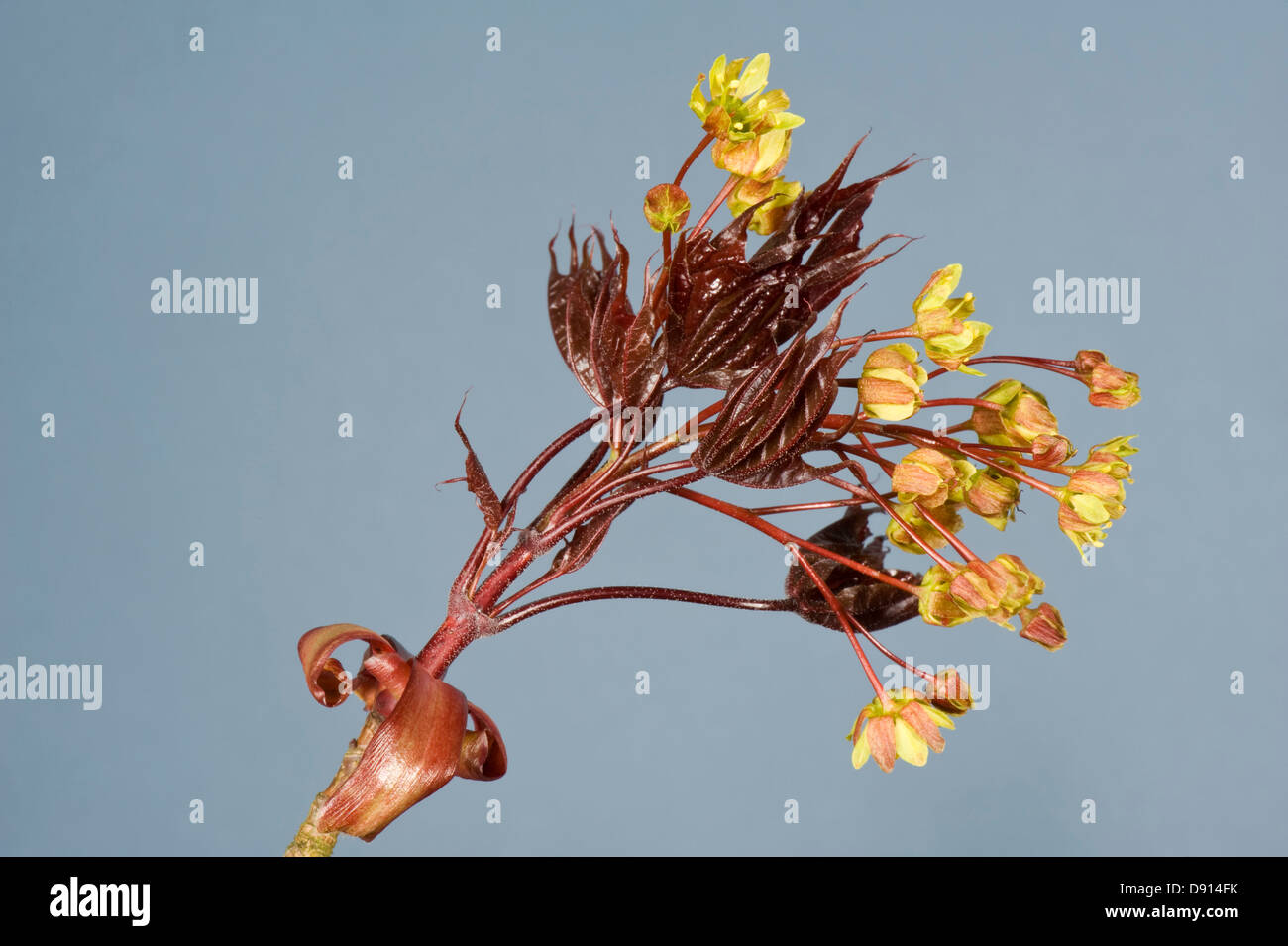 Flowers and very young leaves of an ornamental red leaved maple, Acer plantanoides, Crimson King in spring - Stock Image