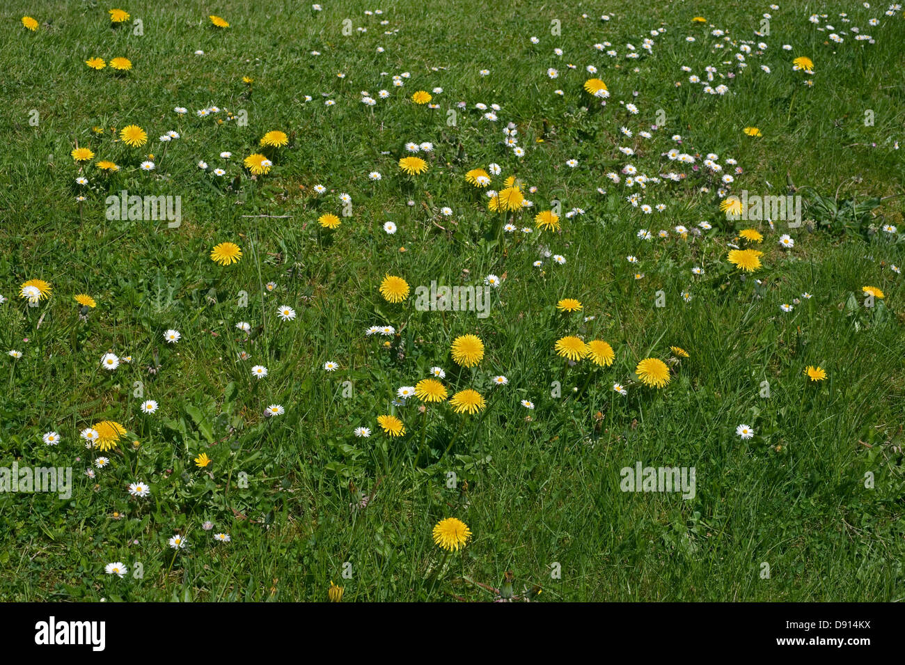 Dandelions, Taraxacum officinale, and daisies, Bellis perennis flowering in a lawn - Stock Image