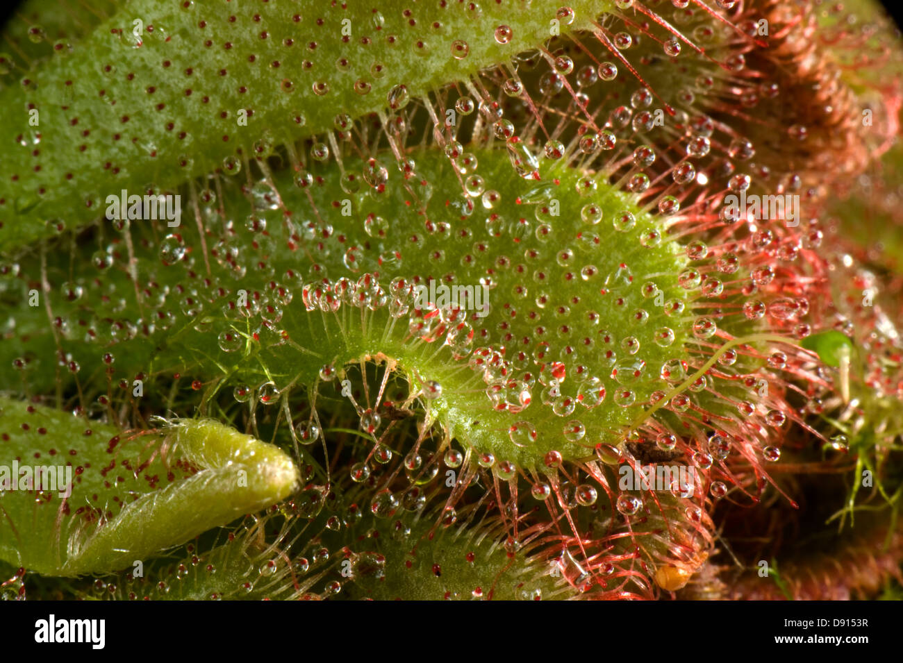 Insectivorous leaves and sticky leaf hairs of a sundew, Drosera aliciae, - Stock Image