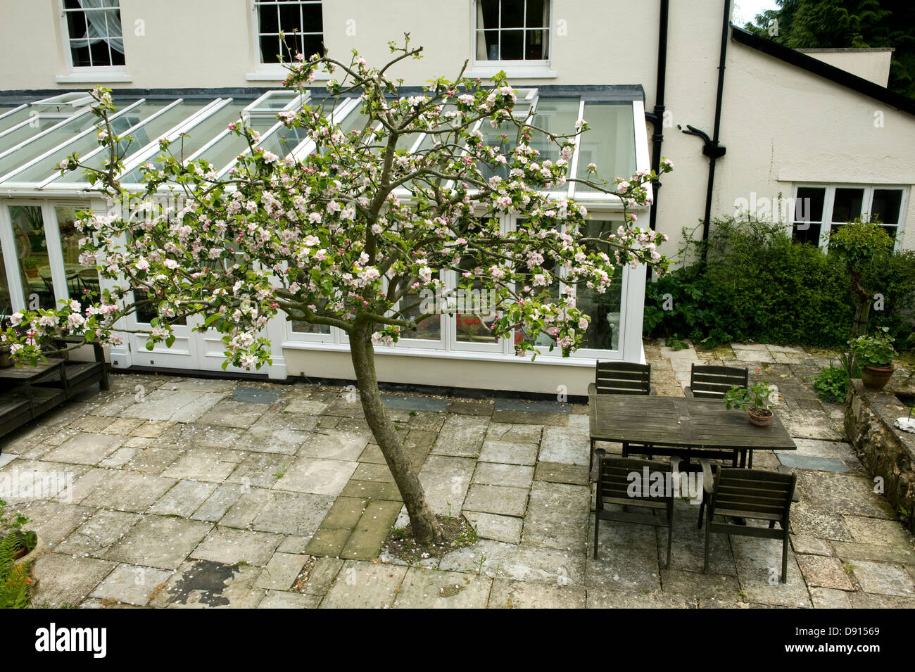 A Bramley apple tree in full blossom just outside a large conservatory at the back of a Georgian house in Devon - Stock Image