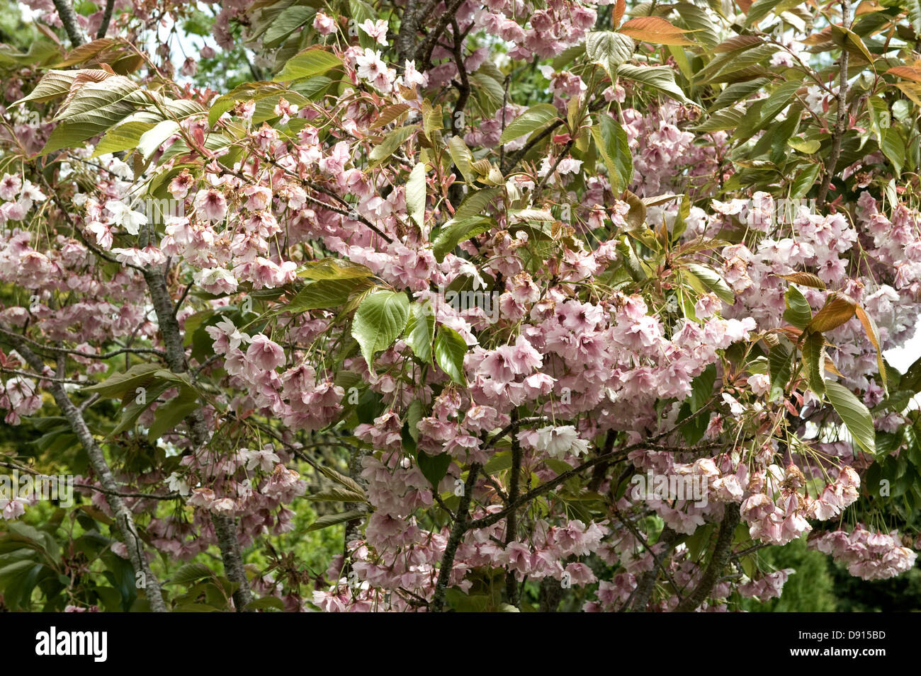 Flowers On An Ornamental Flowering Cherry Tree Prunus Shizuka Or