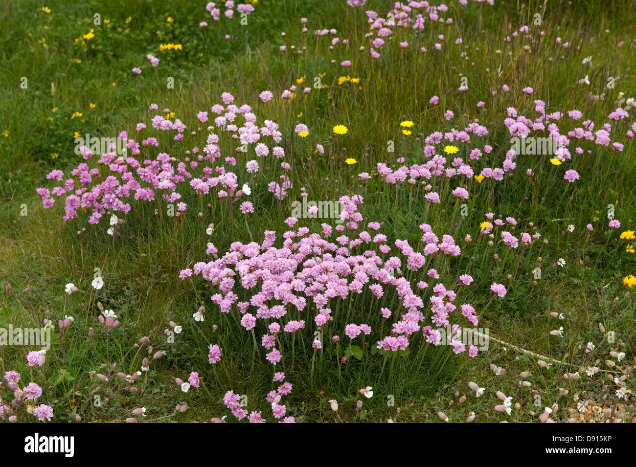 Thrift, Armeria maritima, flowering on shingle at Chesil Beach in Dorset - Stock Image