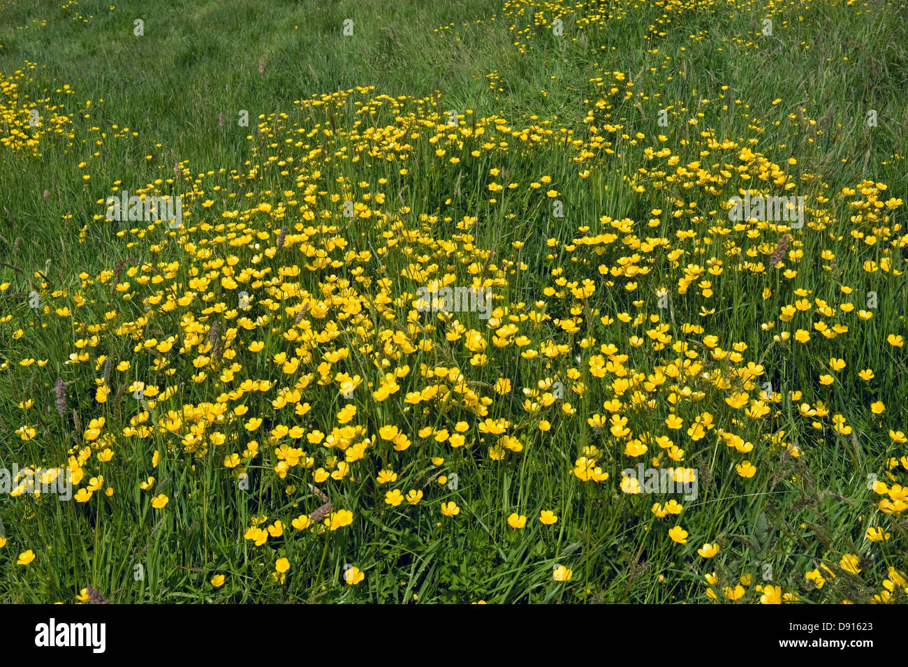 A Devon meadow with yellow buttercups in early summer - Stock Image