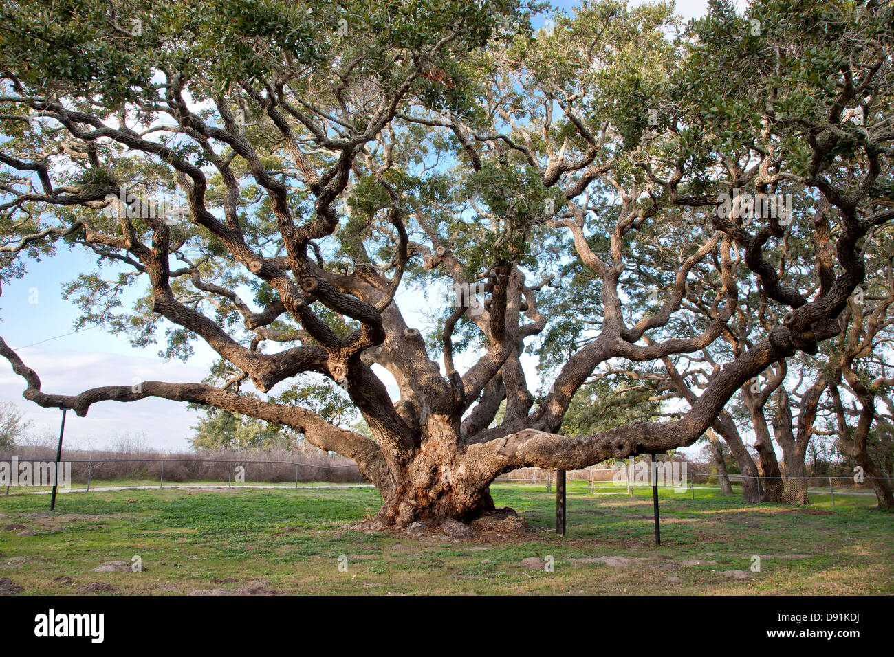 Big Tree, Southern Live Oak tree. - Stock Image