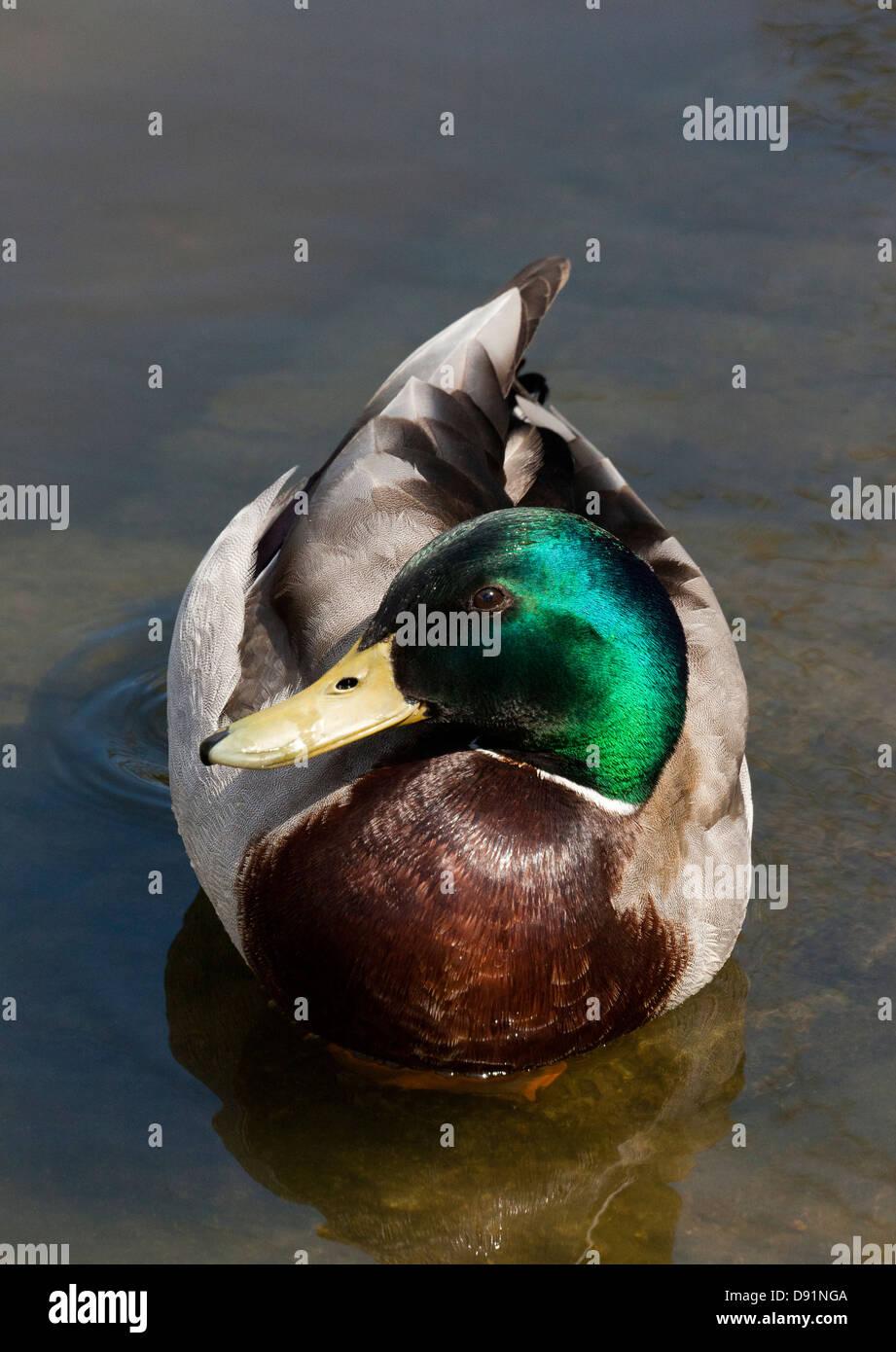 Mallard Duck Anas platyrhynchos - Stock Image