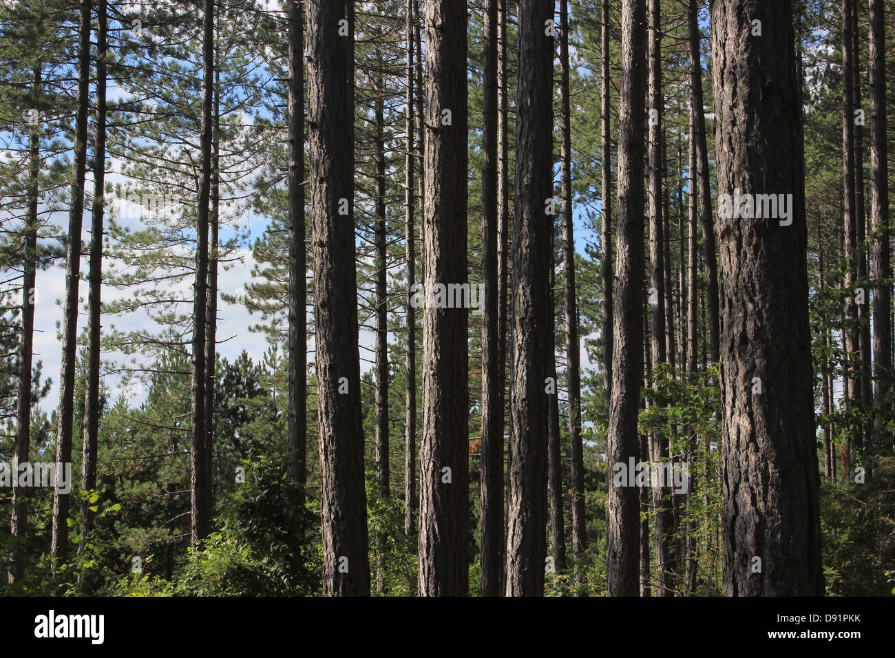 Forest of pine trees, Slovenia - Stock Image