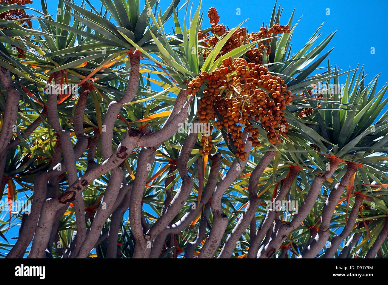 Dragon's blood tree (Dracaena draco) with orange berries, sap of which was used by ancient Egyptians in embalming - Stock Image