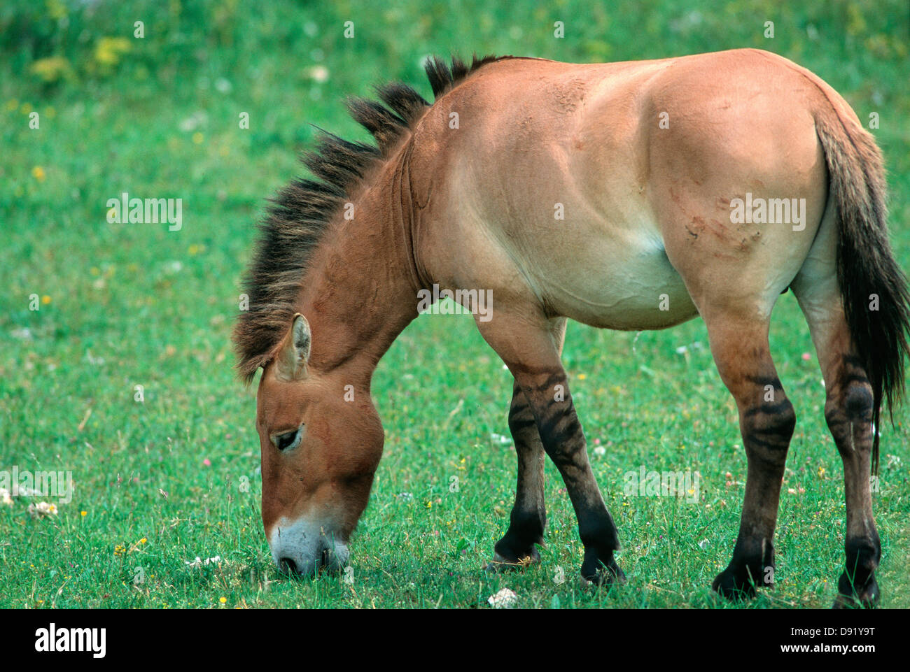 Przewalski's horses - showing the zebra striped legs Stock Photo