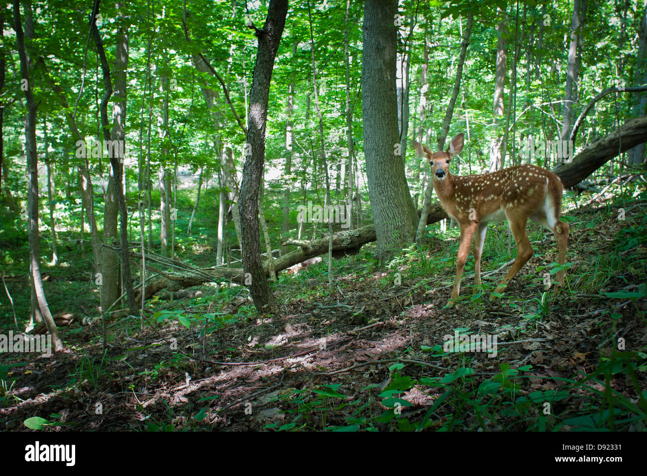 white tail deer fawn Stock Photo