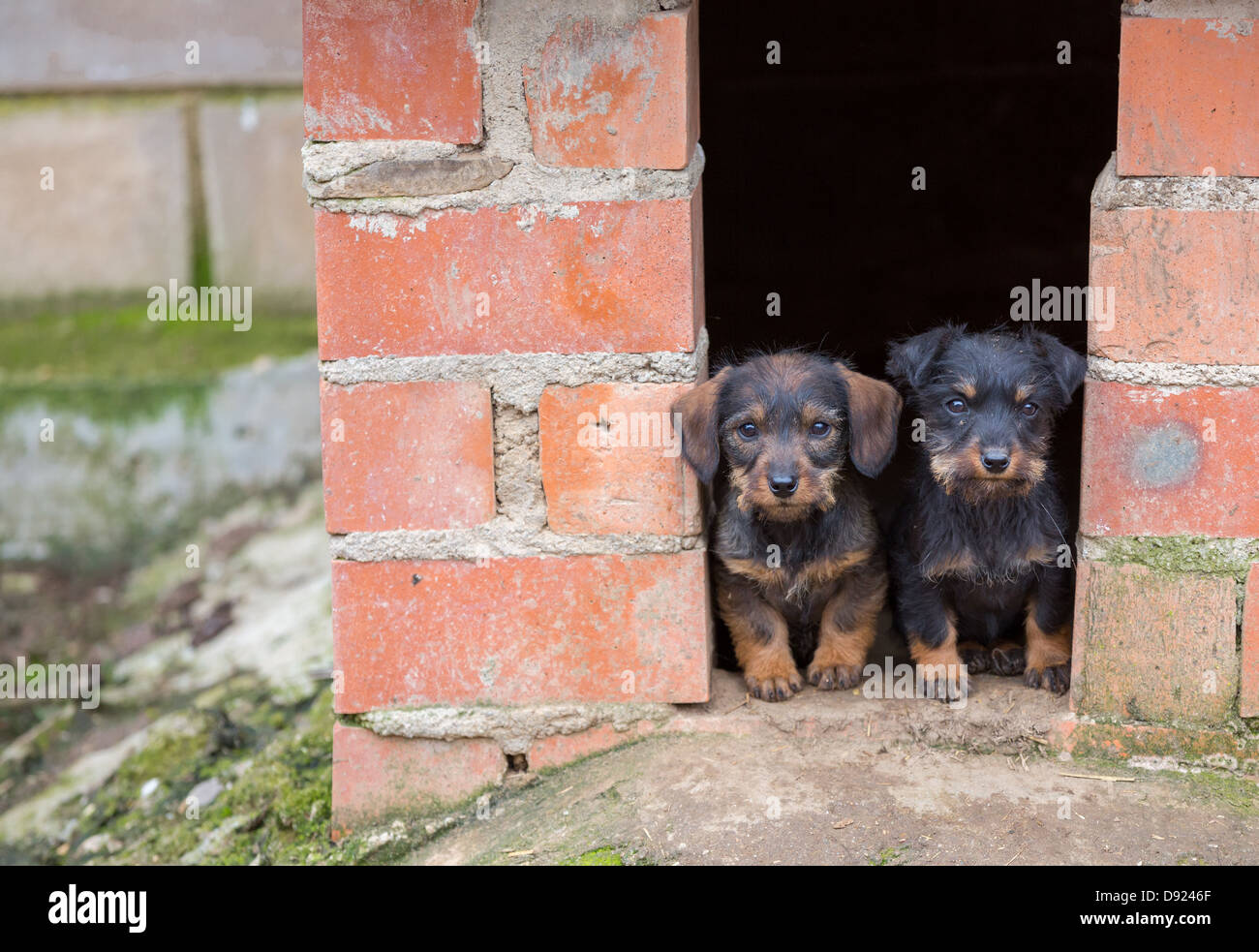 Closeup Of Baby Dachshund Dogs At Home Stock Photo Alamy