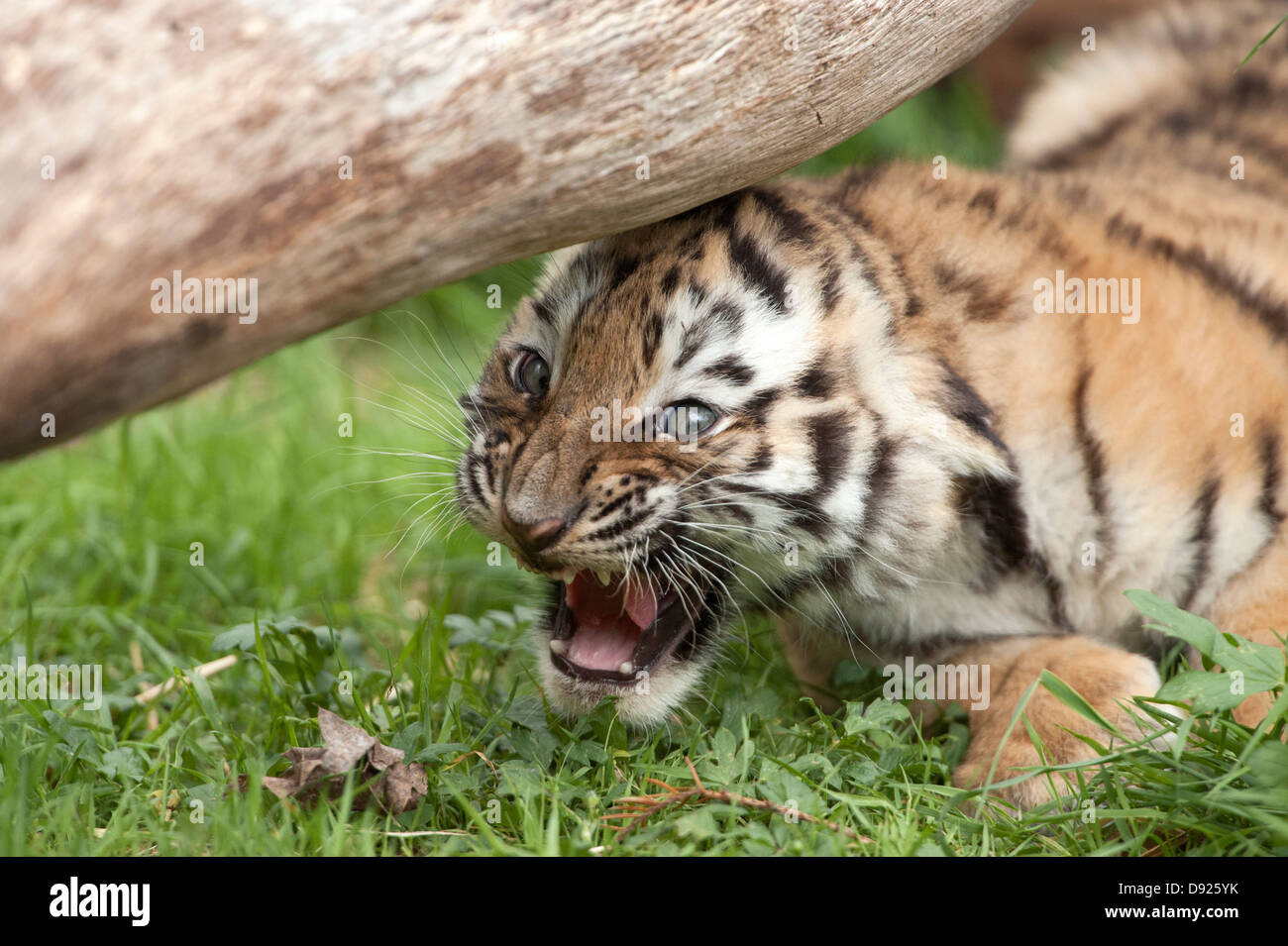 Eight-week-old female Amur tiger cub snarling - Stock Image