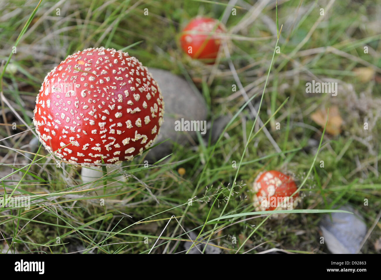 Fly Agaric, Tayside, Scotland, Great Britain - Stock Image