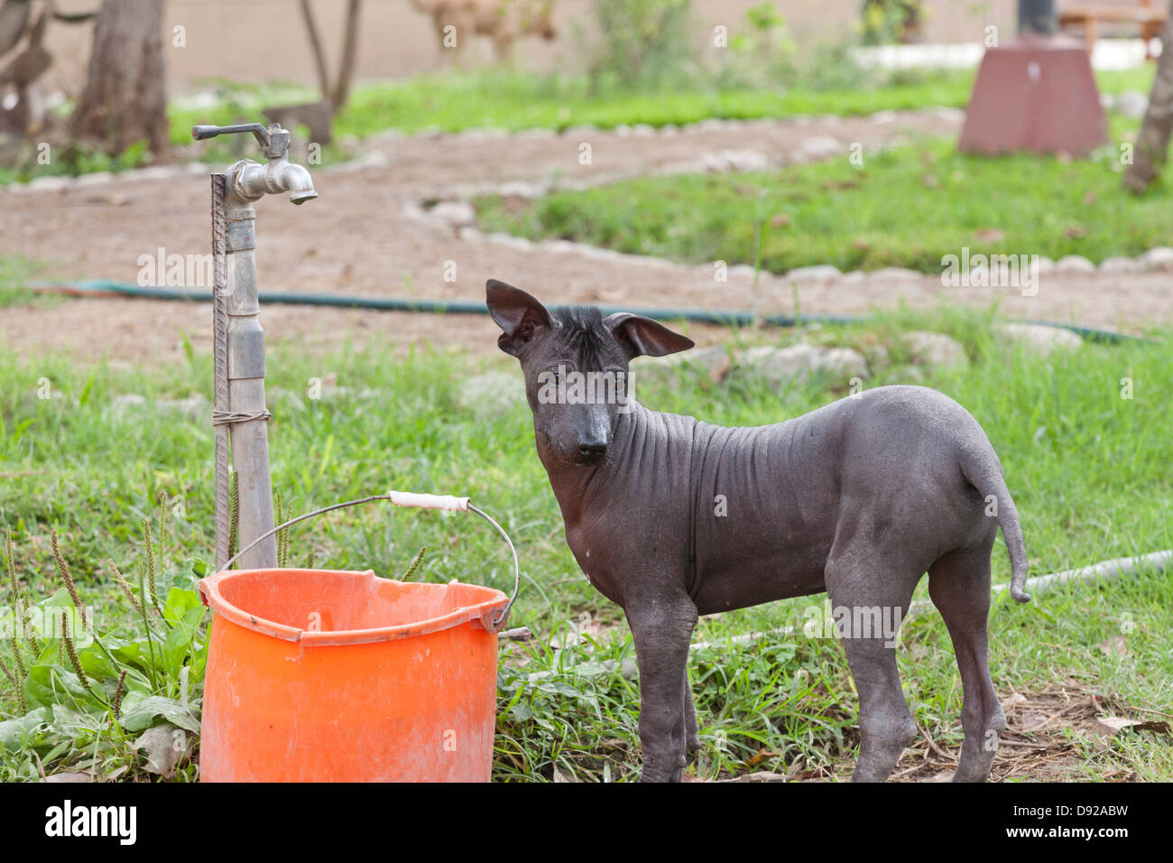 Peruvian Hairless Dog, Trujillo, Peru - Stock Image