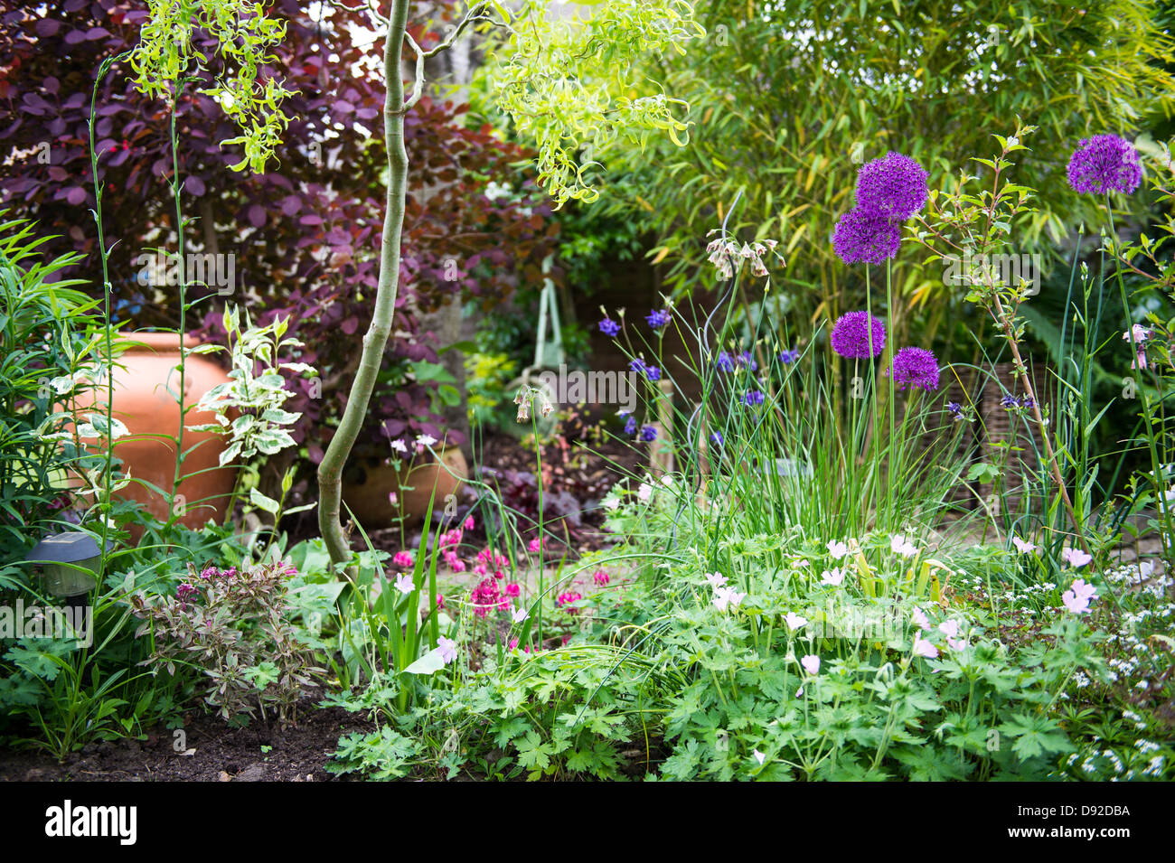 Large Alium in a shady corner of a garden with a hint of sunlight bringing highlights to the corner, with garden - Stock Image