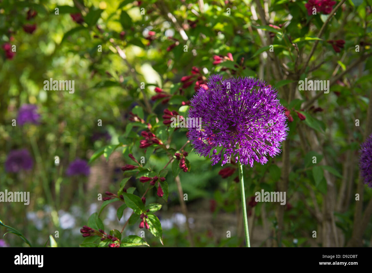 A single large Alium in a shady corner of a garden with a hint of sunlight brightening one side of the flower. - Stock Image