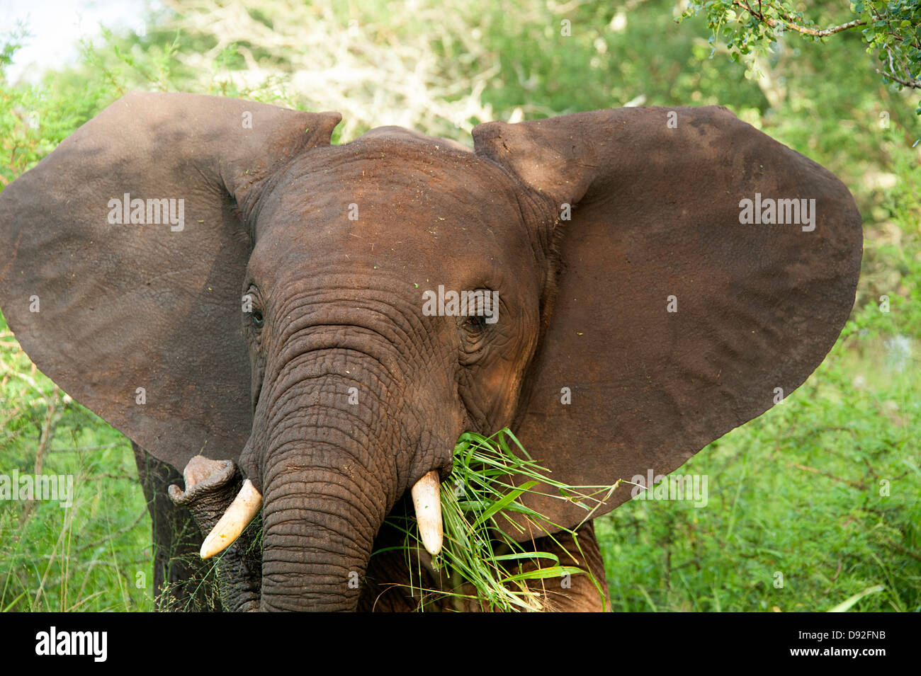 Young African elephant eating in the bush in Thanda Game Reserve South Africa. - Stock Image