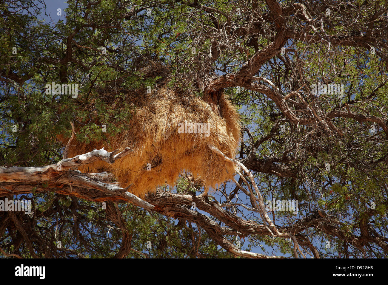 Sociable Weavers Nest, near Fish River Canyon, Southern Namibia, Africa - Stock Image