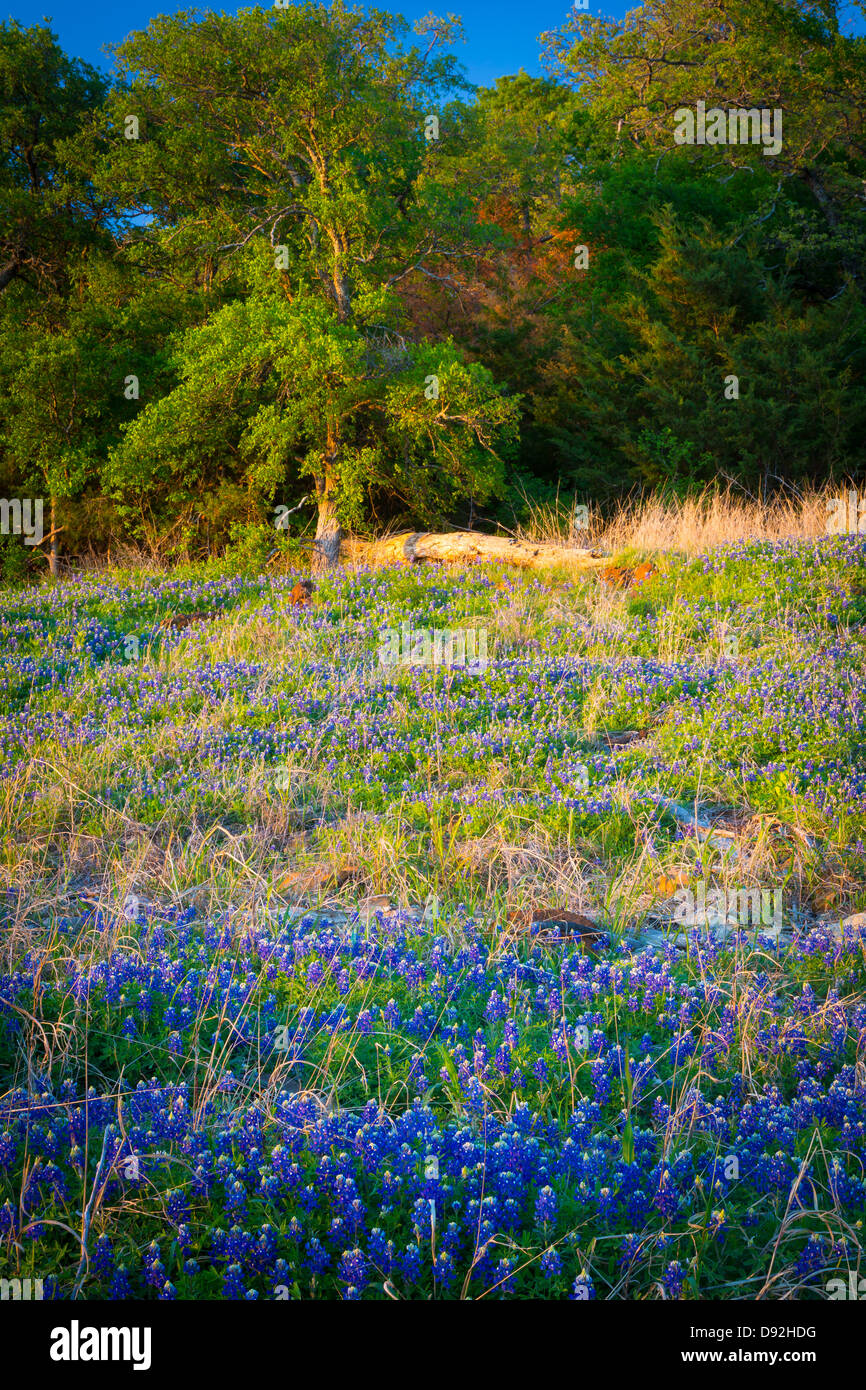 Bluebonnets at Grapevine Lake in North Texas - Stock Image