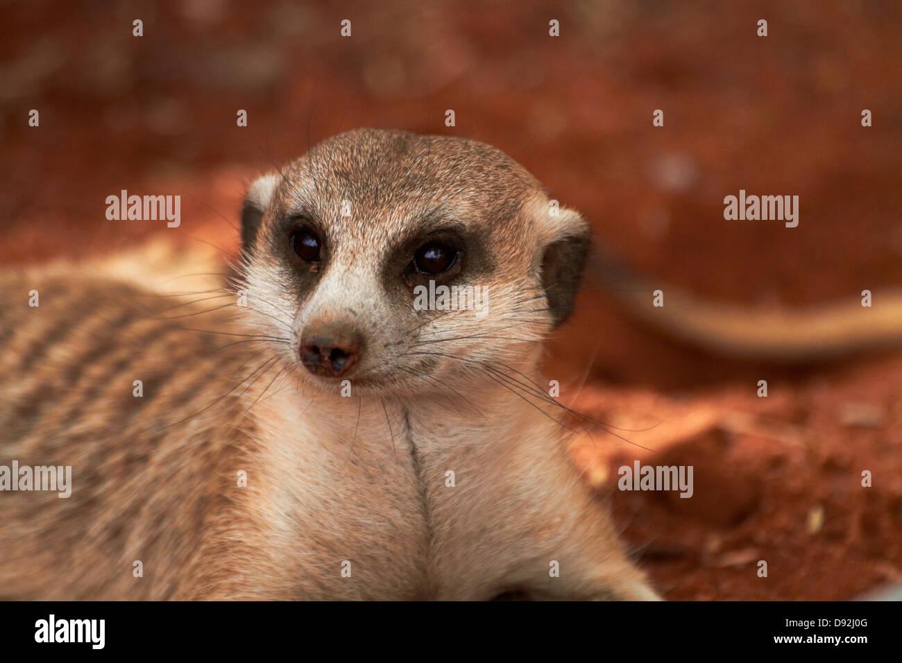 Meerkat or suricate, (Suricata suricatta), Tiras Mountains, Southern Namibia, Africa - Stock Image