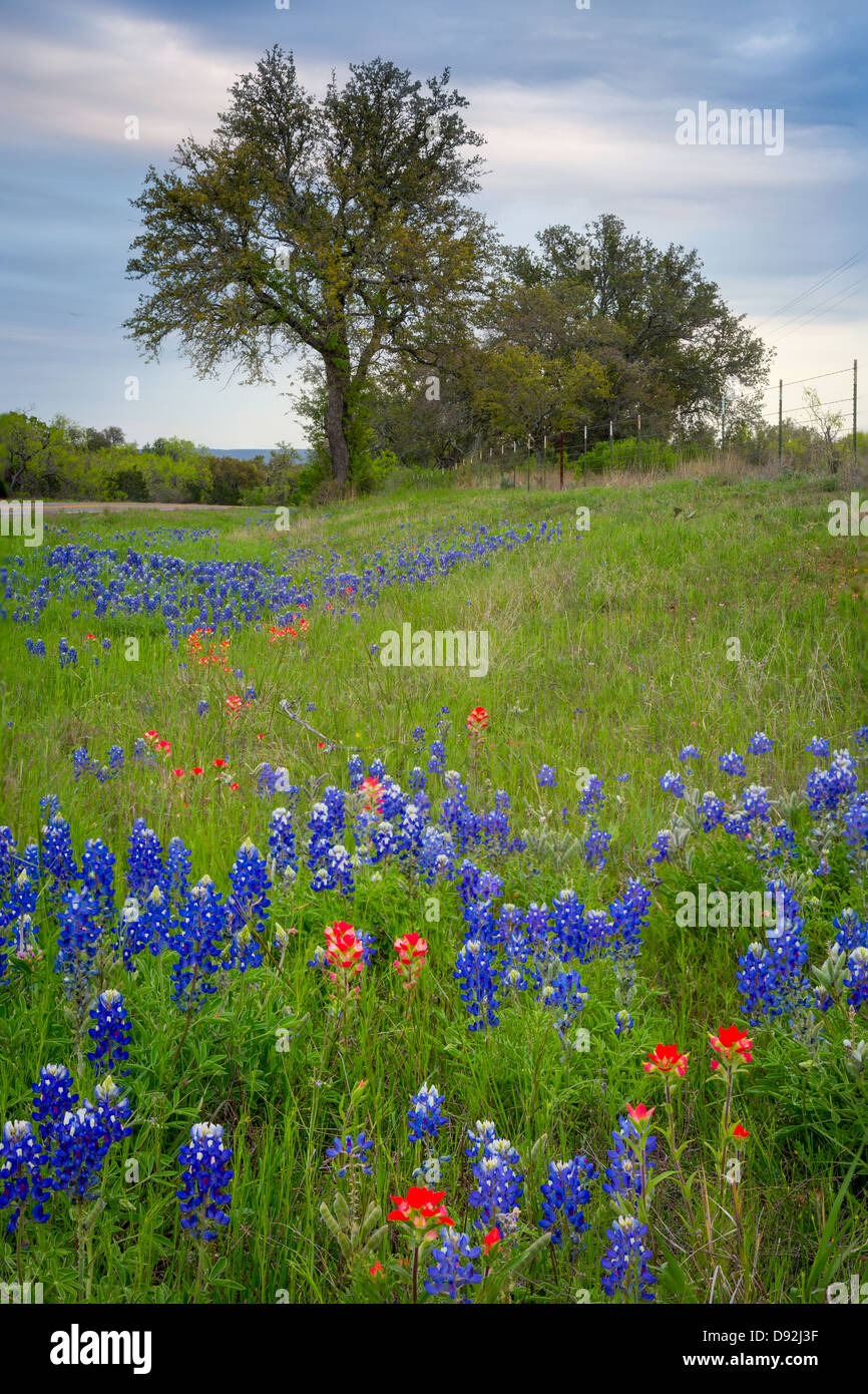 Bluebonnets and paintbrush wildflowers near Llano in the Texas Hill Country - Stock Image
