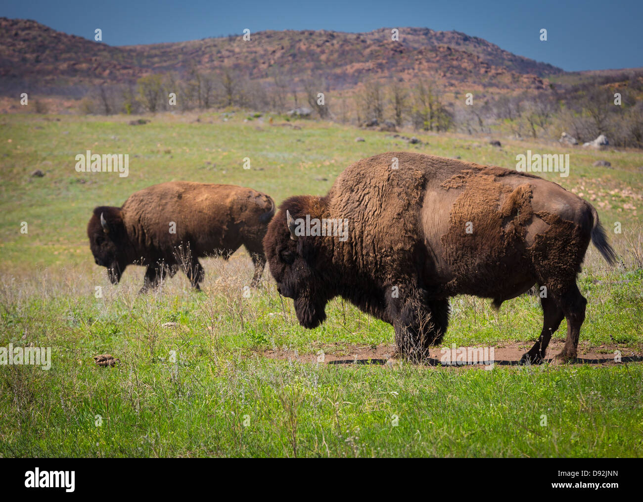 Roaming bison in Wichita Mountains Wildlife Refuge, Oklahoma - Stock Image