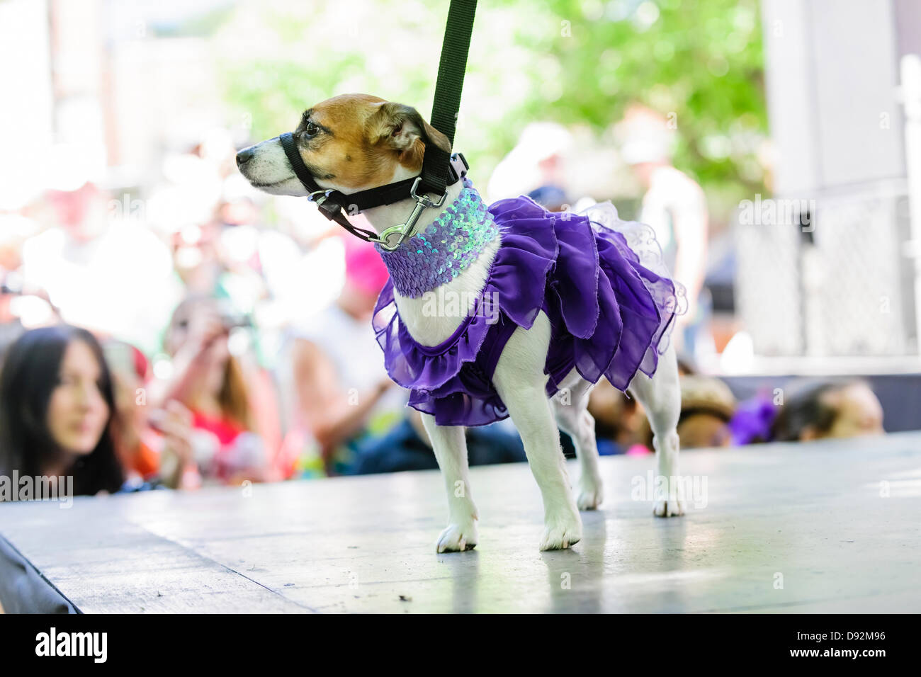 Toronto Canada June 9 2013 Jack Russell Terrier In Purple Frilly