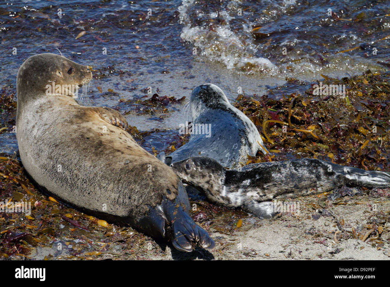 Harbor Seal Mother is nursing a Puppy Seal, Point Lobos Nature Preserve; California - Stock Image