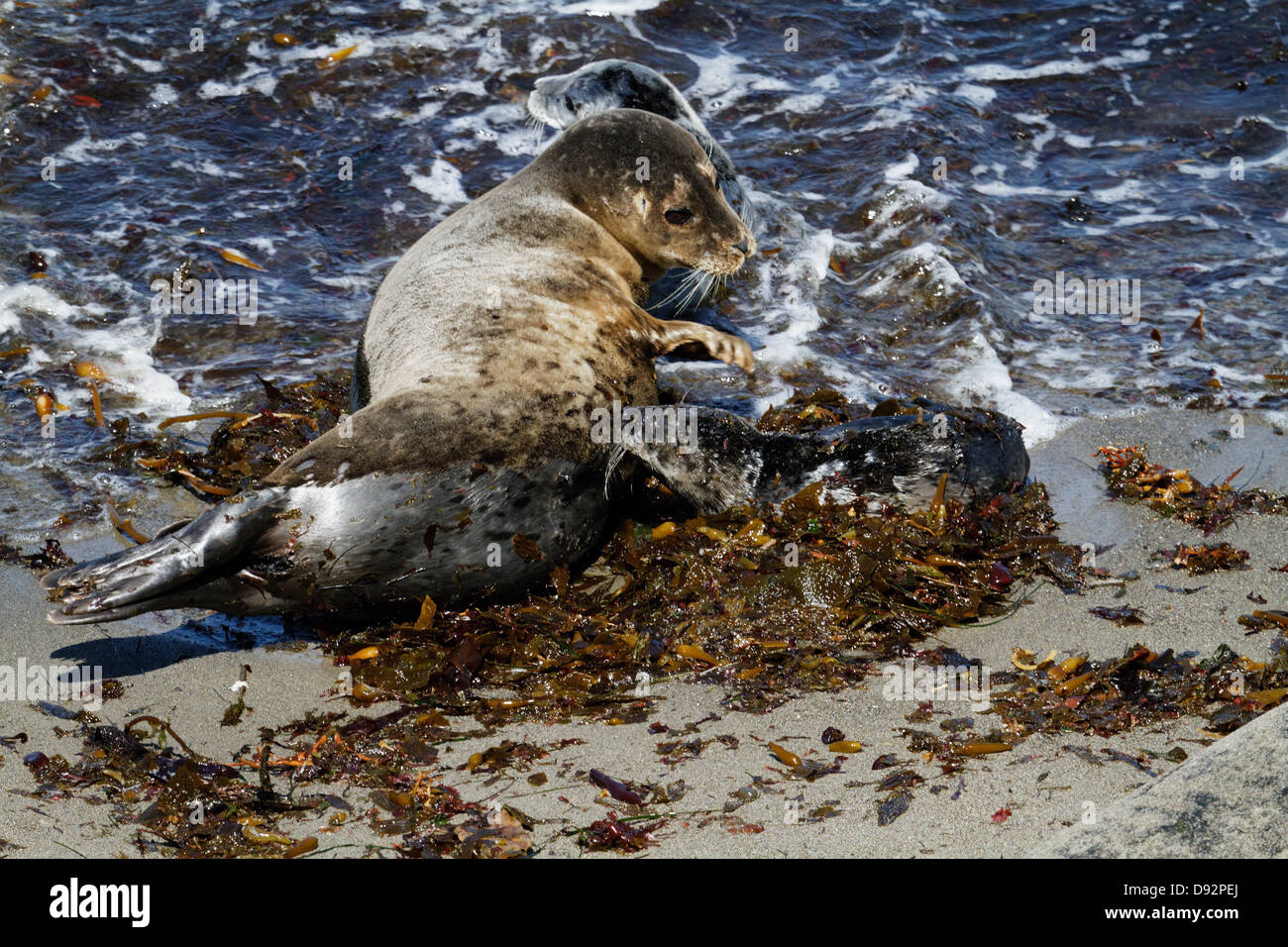 Harbor Seal Mother is Nursing Young Pup Seal, Point Lobos State Park, California - Stock Image