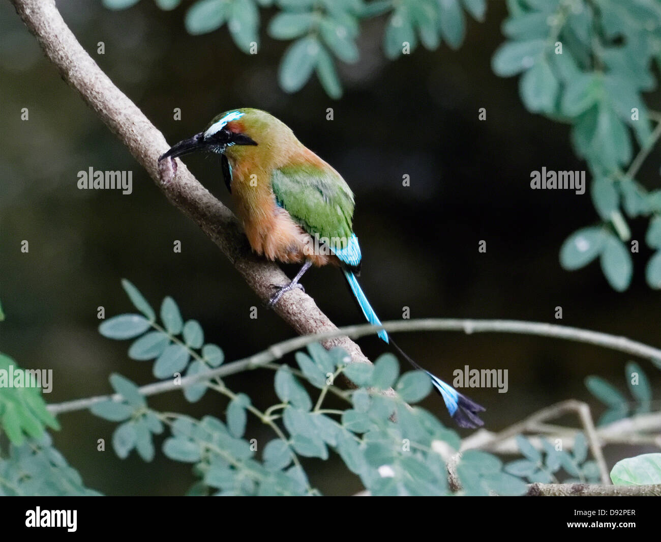 Turquoise-Browed Motmot (Eumomota Superciliosa) on a Tree Branch Holding a Worm, Yucatan, Mexico - Stock Image