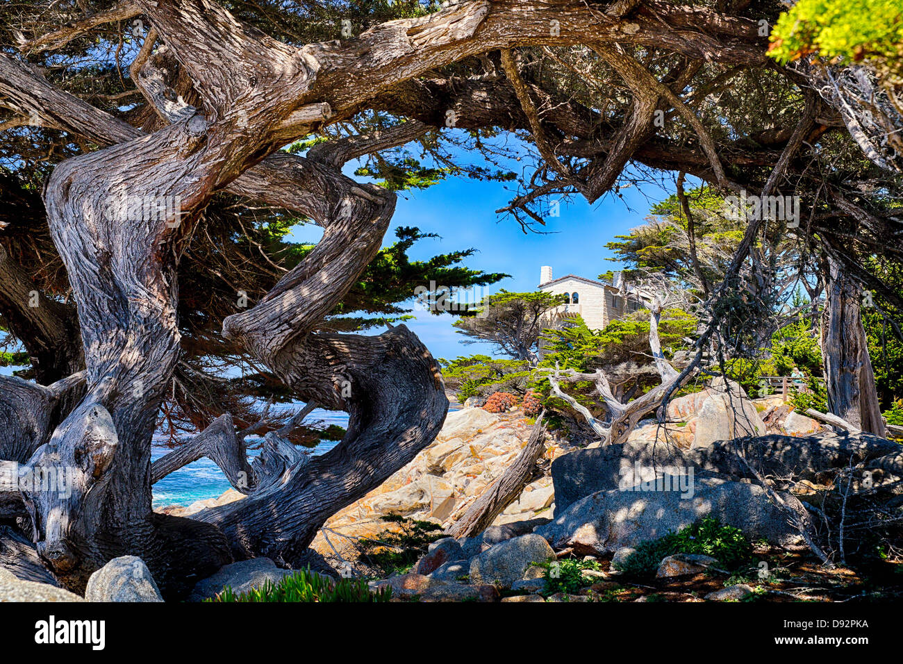 Twisted Cypress Trees at Pescadero Point, Pebble Beach, Monterey County, California - Stock Image