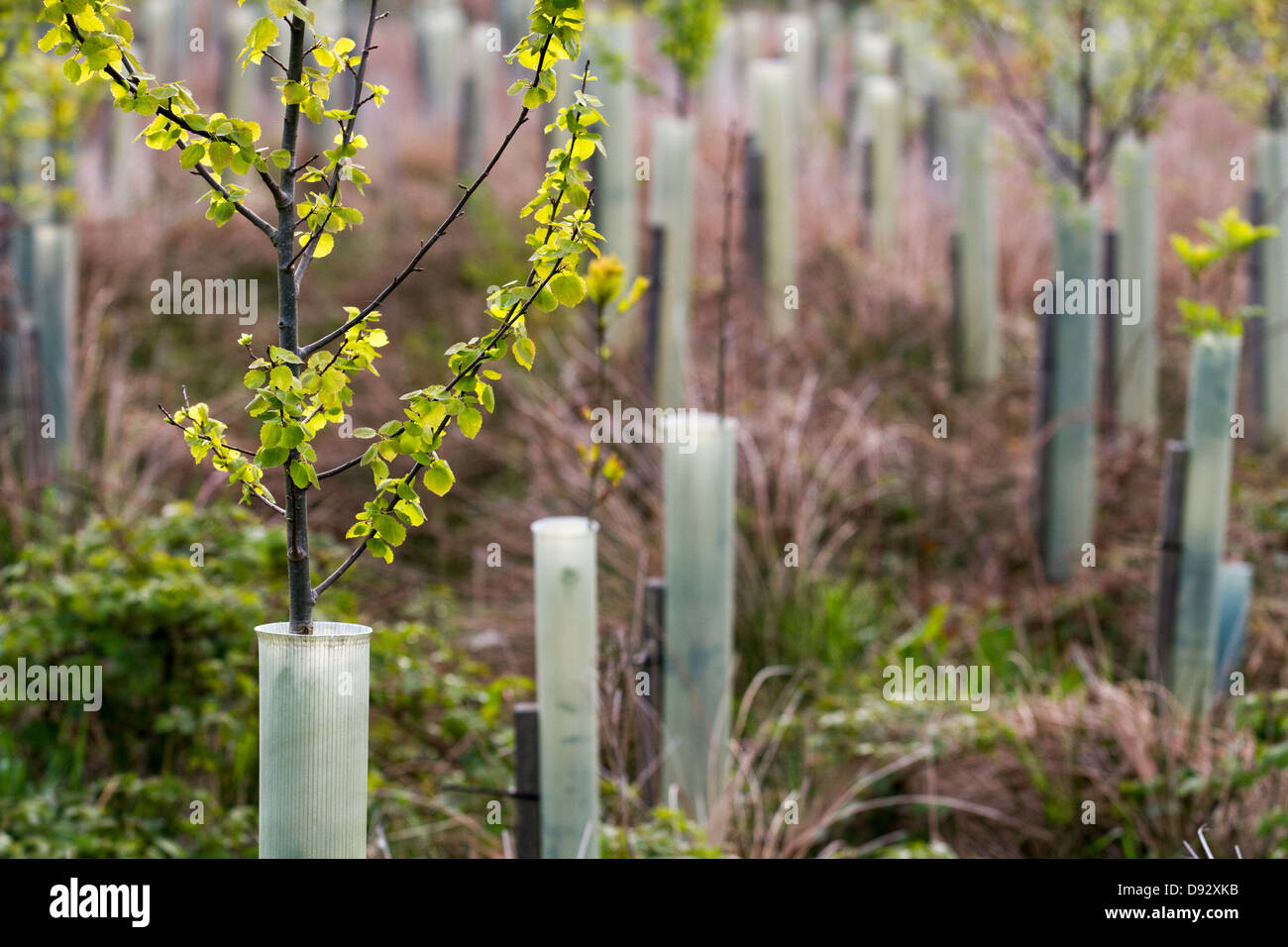Spring leaf growth on young Birch trees, protected in plastic tree tubes,  growing in forestry Plantation, North - Stock Image
